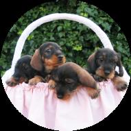 Cachorros-de-Teckel-3