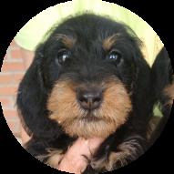 Cachorros-de-teckel-2