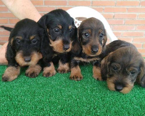 Cachorros-de-teckel-7